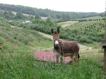 Rubey the Donkey